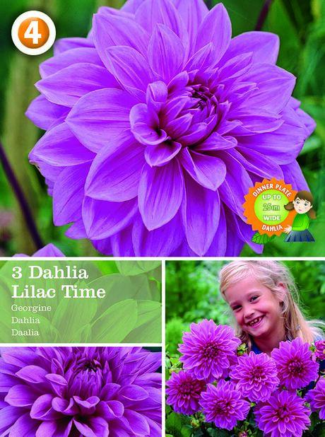 Dahlia 'c Time', dekorativdahlia, Lila