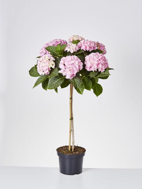 Hortensia på stam, Höjd 85 cm, Rosa
