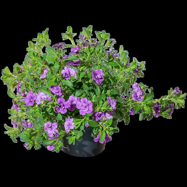 Petunia dubbel, Ø12 cm, Blå