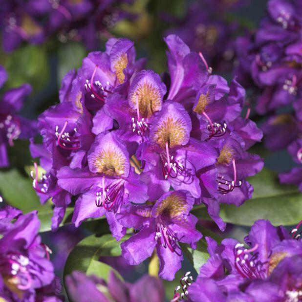 Parkrhododendron 'Marcel Menard' 5L