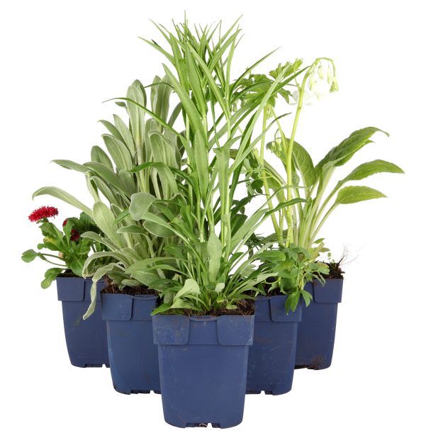 Fackellilja, Höjd 15 cm, Flerfärgad