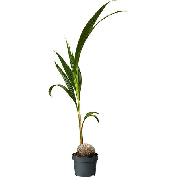 Kokospalm, Höjd 110 cm, Grön
