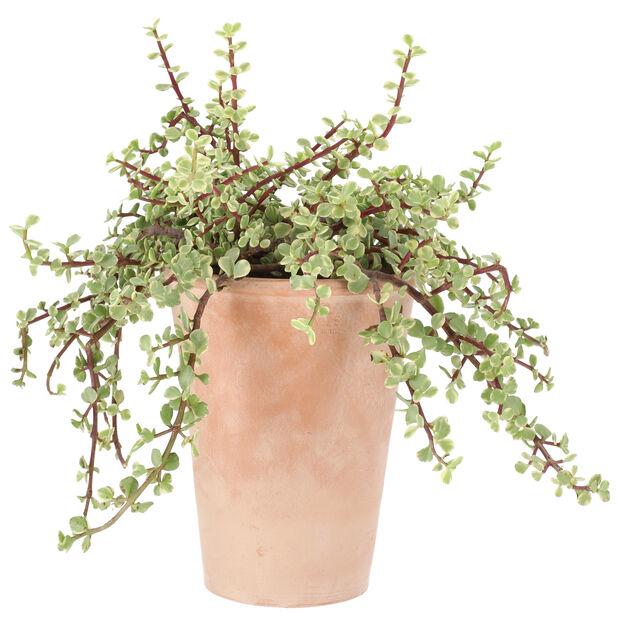 Kaktus i terrakottakruka, Höjd 25 cm, Grön
