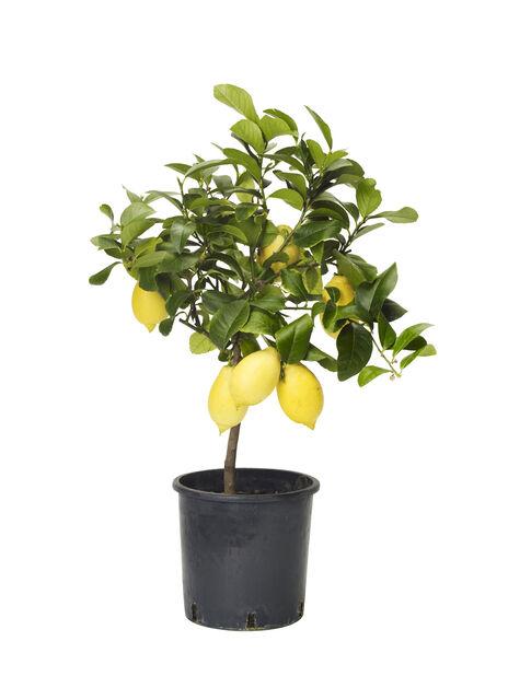 Citrusplanta, Ø21 cm, Gul