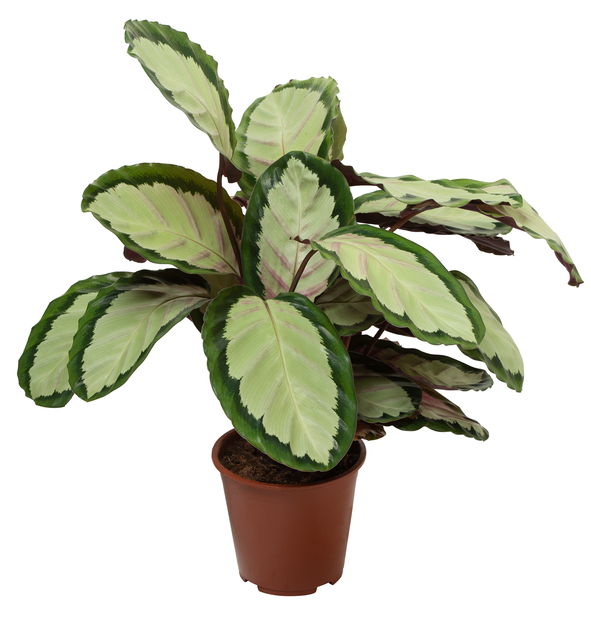 Kalatea 'Silvia', Höjd 80 cm, Grön
