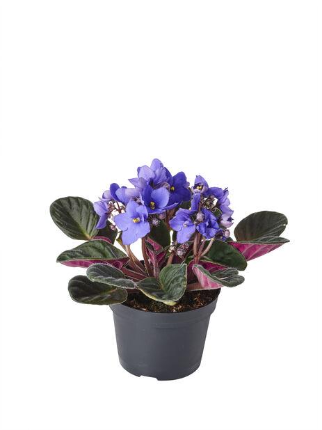 Saintpaulia , Höjd 15 cm, Blå