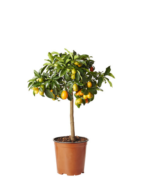 Kumquat på stam, Ø19 cm, Orange
