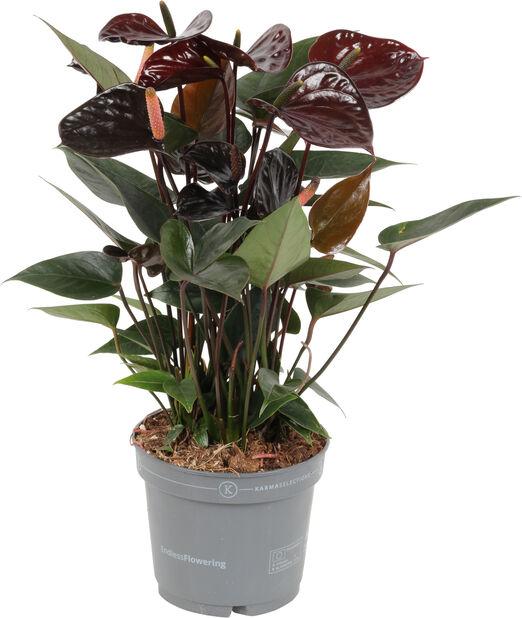 Rosenkalla, Höjd 45 cm, Svart