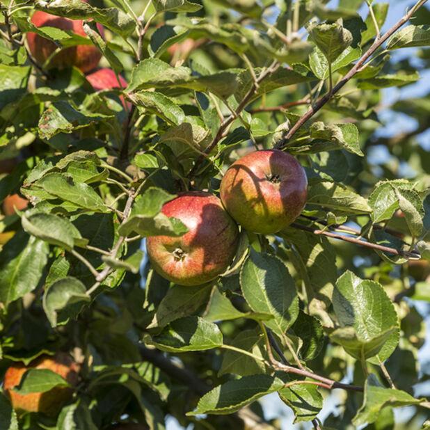 Äpple 'Katja', Höjd 180 cm, Röd