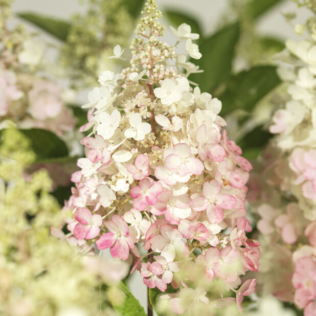 Syrenhortensia Pinky Winky H80-100 cm