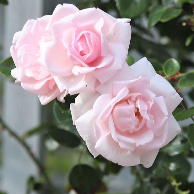 Klätterros 'New Dawn', Höjd 60-80 cm, Rosa