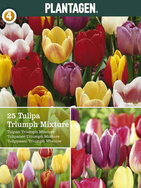Triumphtulpan, Flera färger