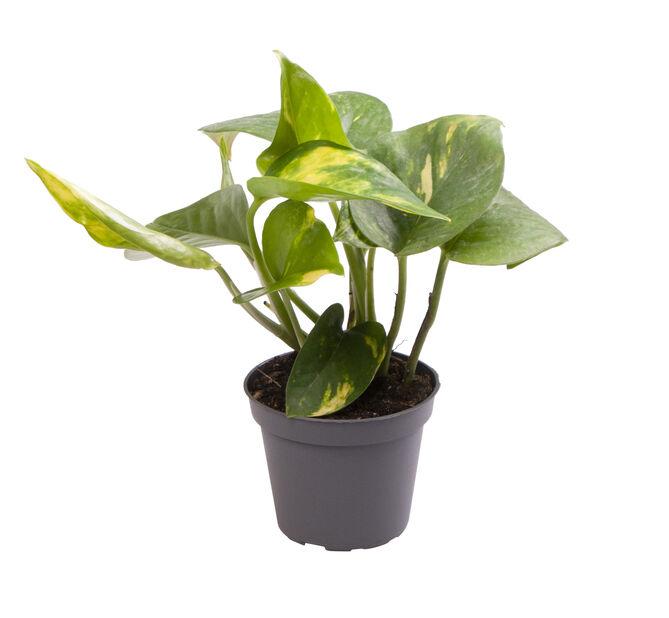 Gullranka mini, Höjd 10 cm, Grön