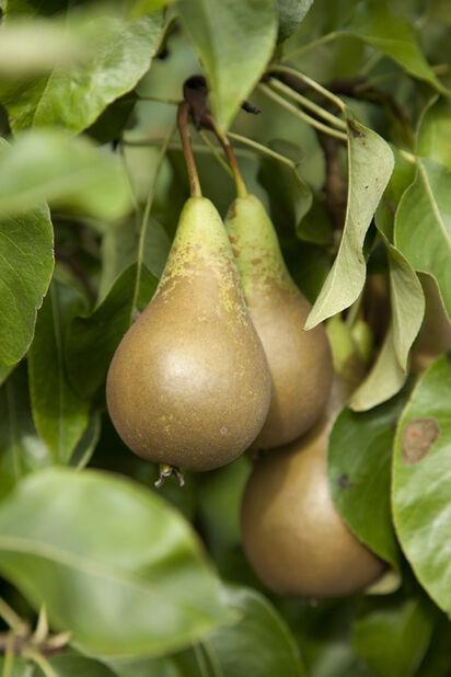 Balkongträd, päron
