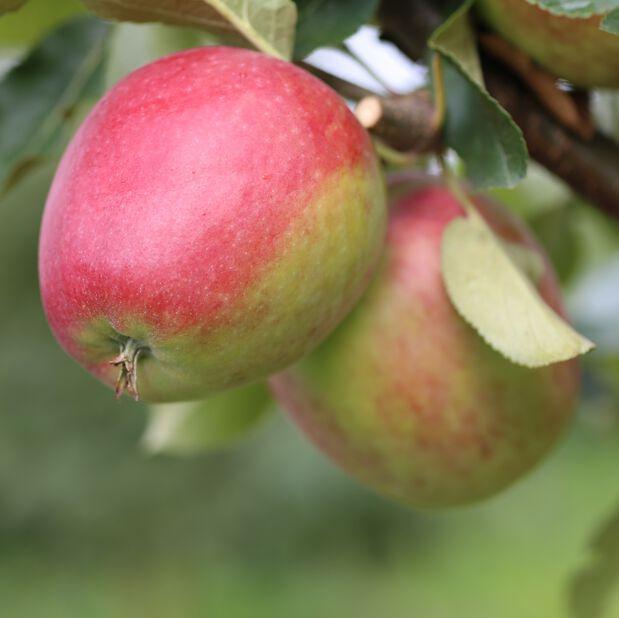 Äpple 'Katja' E A2, Höjd 150 cm, Röd