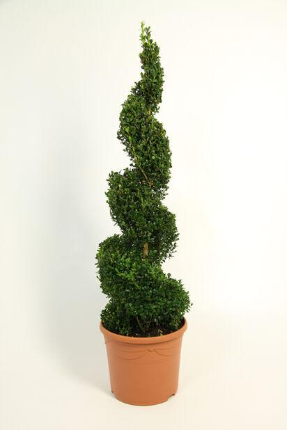 Buxbom spiralformad H70 cm