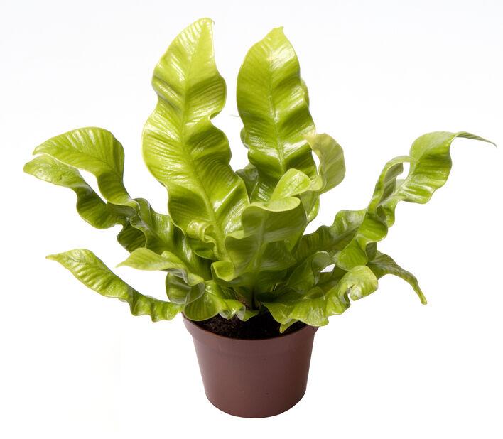 Blankbräken mini, Höjd 10 cm, Grön
