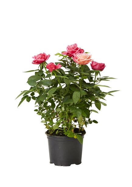 Ros i kruka , Höjd 32 cm, Röd