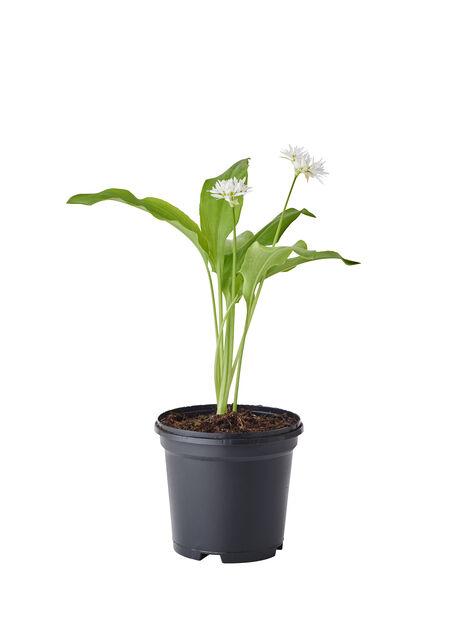 Ramslök, Höjd 25 cm, Vit