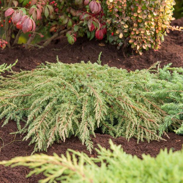 Dvärg-en 'Green Carpet', Ø19 cm, Grön