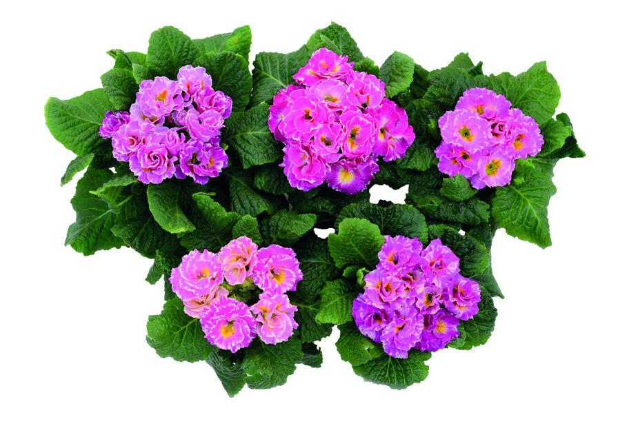 Jordviva 'Scirocco', Ø10.5 cm, Flera färger