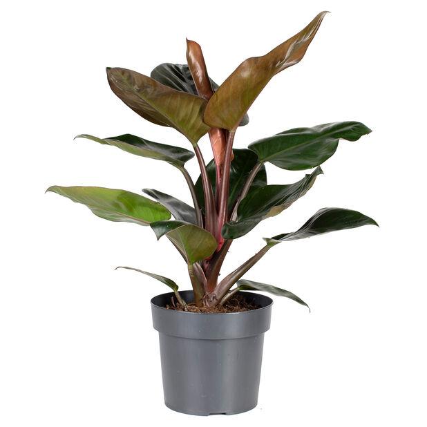 Filodendron 'Rojo Congo', Höjd 55 cm, Grön