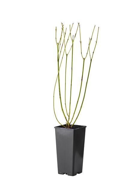 Gullkornell 'Flaviramea' , Höjd 40 cm, Vit