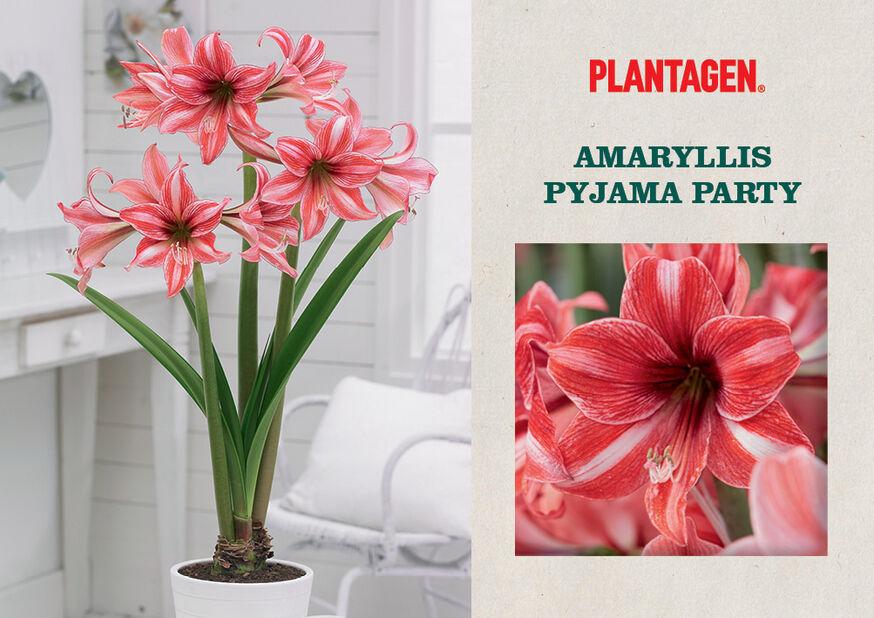 Amaryllis 'Pyjama Party', Flerfärgad