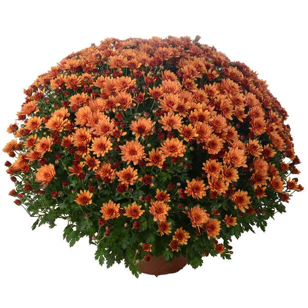 Krysantemum, Ø19 cm, Orange