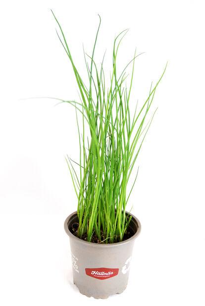 Gräslök KRAV, Ø10.5 cm, Grön