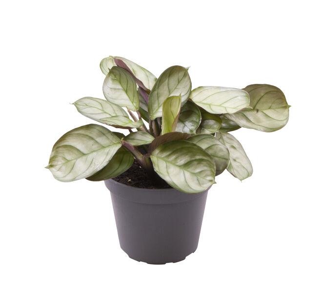 Moses stentavlor 'Mint' mini, Höjd 10 cm, Grön