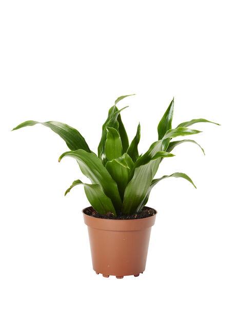 Dracaena mini, Höjd 10 cm, Grön
