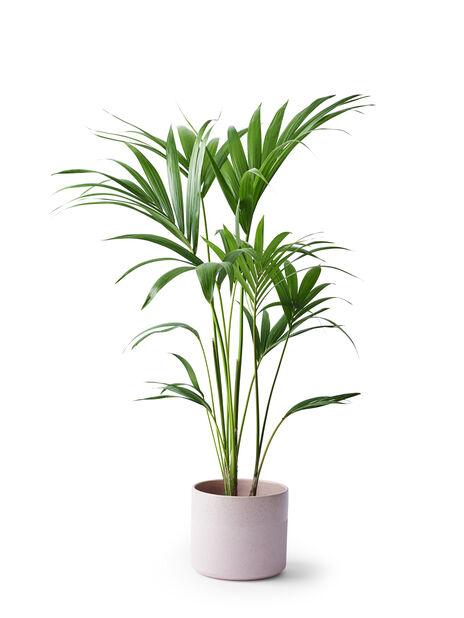 Förmakspalm, Höjd 95 cm, Grön