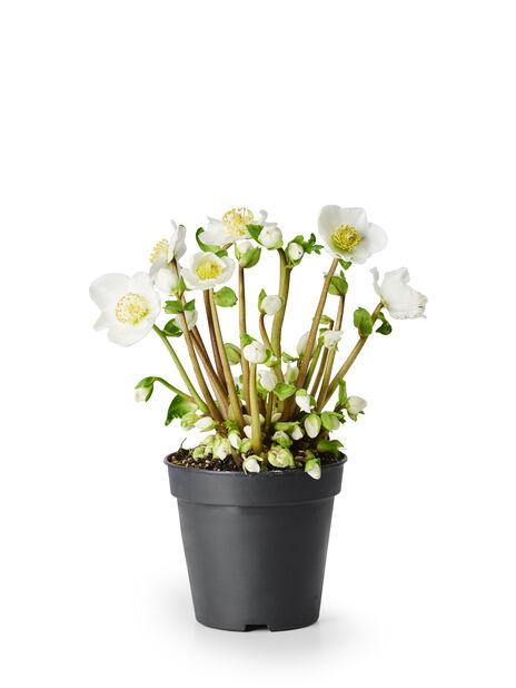 Julros 'Verboom Beauty', Ø10.5 cm, Vit