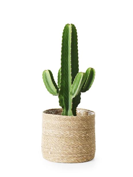 Kaktuseuforbia 'Ingens', Höjd 75 cm, Grön