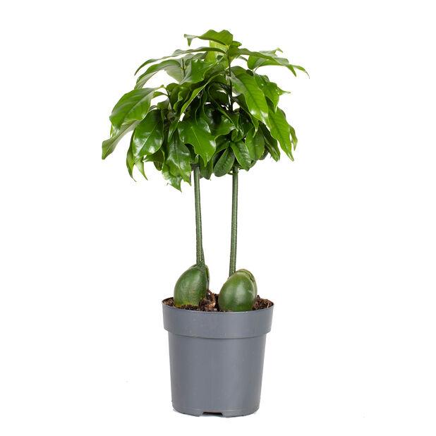 Bönträd, Höjd 25 cm, Grön