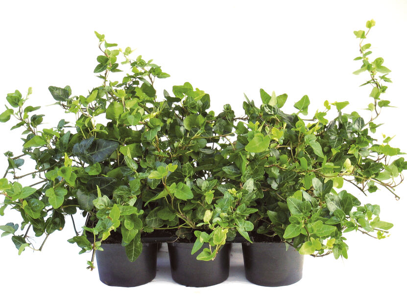 Murgröna, Höjd 15 cm, Grön