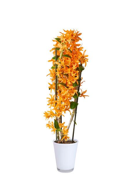Dendrobium orkidé 'Fire Bird' 12 cm