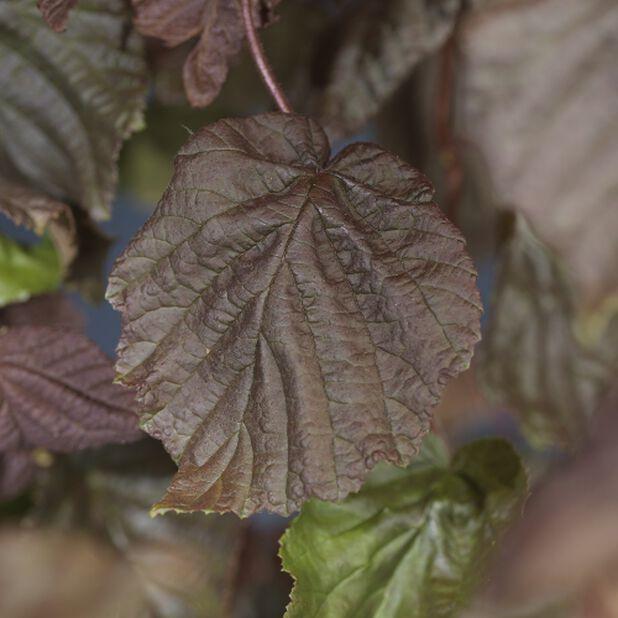 Rödbladig ormhassel 'Red Majestic', Ø23 cm, Grön