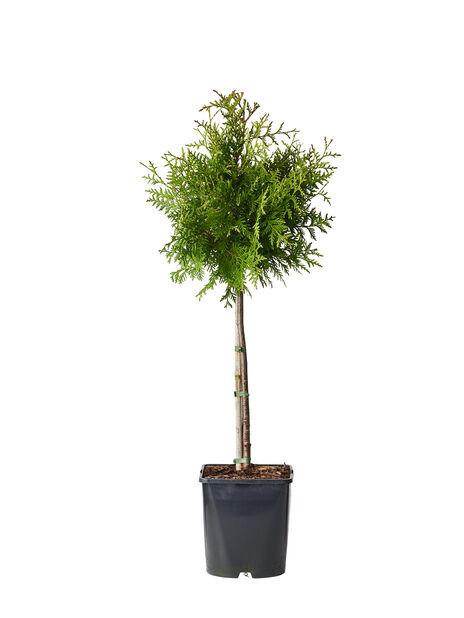 Barrväxter på stam mix grön