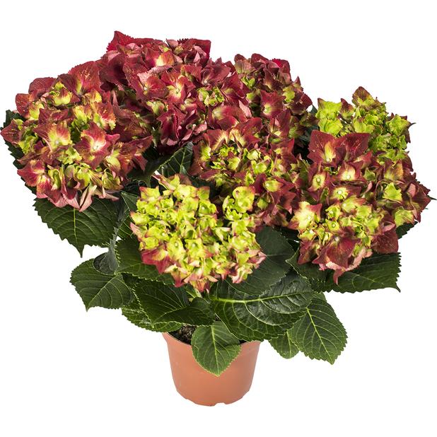 Hortensia, Höjd 35 cm, Röd