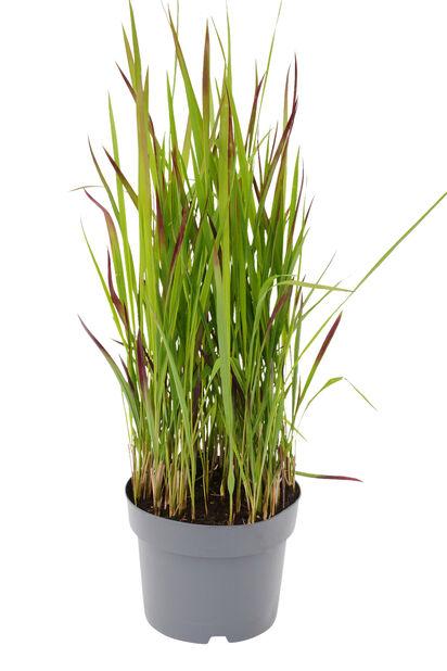 Japanskt blodgräs, Ø19 cm, Flerfärgad