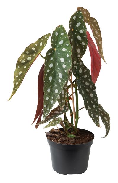 Forellbegonia, Höjd 25 cm, Grön