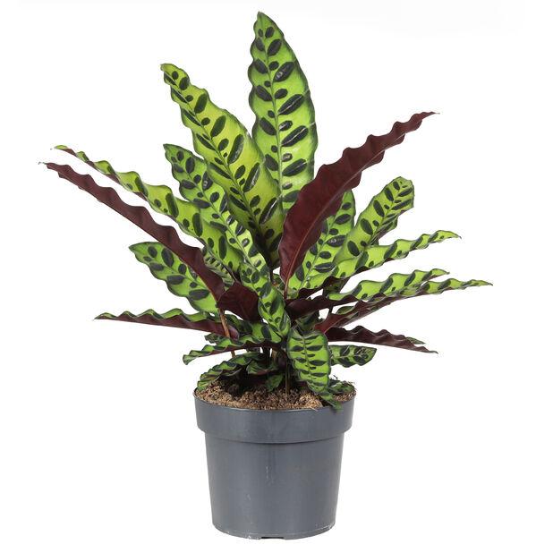Marmorblad, Höjd 25 cm, Grön