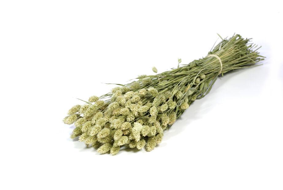 Phalaris naturligt grön, Höjd 50 cm, Grön