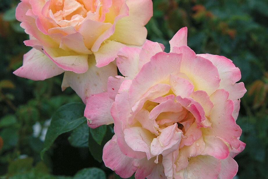 Storblommig ros