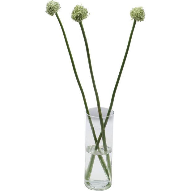 Allium 'Ping Pong' 5-pack