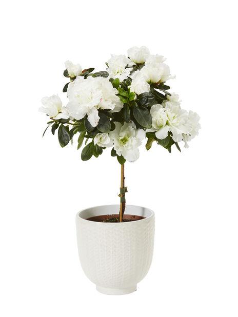 Azalea på stam 12 cm