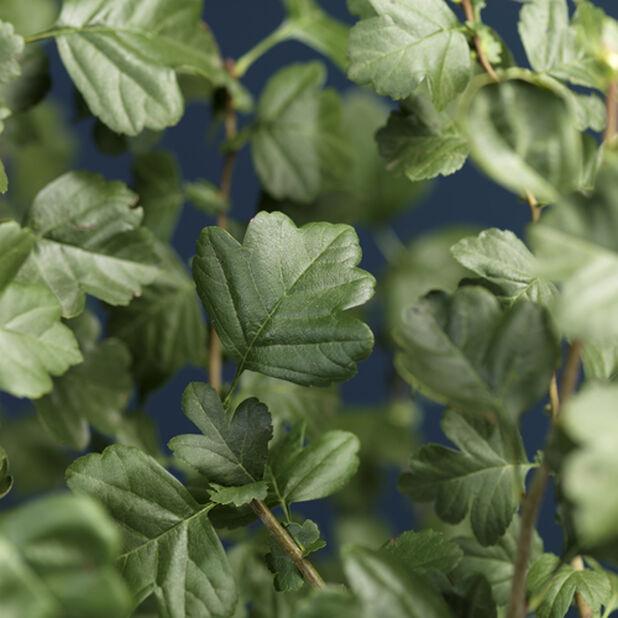 Häckhagtorn, Höjd 40 cm, Grön