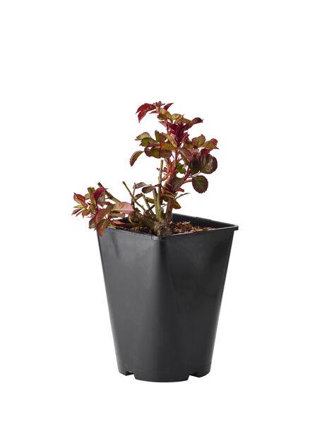 Klasblommig ros 'Europeana', Höjd 25 cm, Röd